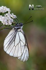 Aporia-Crataegi-(Linnaeus-1758) (Nikologia) Tags: macro mariposa insecta aporia crataegi tximeleta