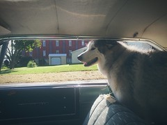 rolling to doggy day care in the galaxie five oh oh. (snowdeal) Tags: car ford automobile galaxie500 dog animal frida malamute