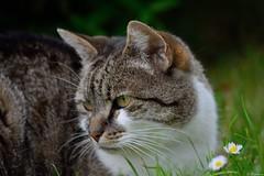 Minet et les 2 pquerettes (Mystycat =^..^=) Tags: minetthecat chat cat gato gatto katze kitty animal flin feline pquerette fleur coth5