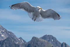 Free as a bird (Maria-H) Tags: norway no panasonic larusargentatus herringgull nordland 100400 gh4 trollfjordcruise dmcgh4