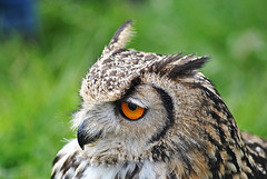 Owl (Glenn Pye) Tags: owl birds bird wildlife nature birdsofprey nikon nikond3000 d3000