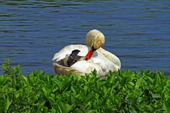 Mute Swan having a clean up. (BIKEPILOT) Tags: uk greatbritain bird nature water fauna spring swan pond wildlife hampshire waterfowl muteswan fleetpond