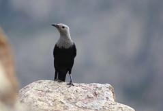 Apparenza (lincerosso) Tags: uccelli birds socotra socotraisland grandeviaggio esplorazione montagnedisocotra bellezza armonia avventura