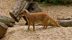 yellow mongoose (JOHN BRACE) Tags: park animal yellow centre seen tilgate mongoose crawley penicillata cynictis