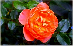 (Riik@mctr) Tags: miniature roses garden flower samsung fone phone gt1900 plant