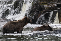 IMG_6634_1 (kalday) Tags: chichagofisland alaska pavlofriver brownbear grizzlybear kodiakbear