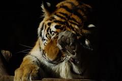 """Tg Nbg          """"Katzenwsche""""            160718 (Eddy L.) Tags: tiergartennrnberg tiergartenfreundenrnbergev nuremberg tiger jungtier 1jahralt aljoscha volodya sibirischertiger amurtiger ussuritiger pantheratigrisaltaica siberiantiger siberiantijger tigredesibrie amurskiytigr tigresiberiano bigcat minoltaafreflex500 sonyphotographing wildcatworld wildfelinephotography schwarzerhintergrund blackintheback pfote paw"""