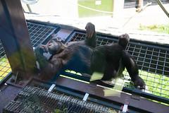 2016 北海道D6 4x6 3202 (chaochun777) Tags: 北海道 旭山 動物園 露營 自由行 猴子 長臂猿 猩猩 雲豹 花豹 老虎 獅子 北極熊 企鵝