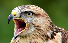Something to say. (pstone646) Tags: nature bird animal wildlife raptor closeup kent fauna birdofprey