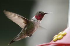 """Don't Mind If I Do!"" (Broad-tailed Hummingbird) (Kojo Baidoo) Tags: broadtailedhummingbird colorado rockymountains nature"