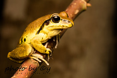 Stoney Creek Frog (Litoria wilcoxi) (peter soltys) Tags: herping petersoltys adventure photobycy australia nsw wildlife wild nature photography amazing naturephotography exitement borderrangesnationalpark stoneycreekfrog litoriawilcoxi frog amphibia litoria
