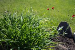 Mail Box Garden, Lilies (marylea) Tags: may25 2016 garden mailbox daylily leaves green blazingsunsetchileanavens avens hallanteblazingsunset geumchiloense blazingsunset