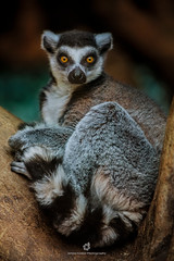 Ring-tailed Lemur (Lemur catta) (fesign) Tags: africa animalsinthewild colourimage fulllength grey madagascar mammal nature nopeople omnivorous oneanimal outdoors photography primate resting ringtailedlemur sideview striped tree vertebrate vertical wildlife