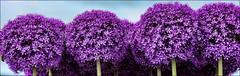 Alium & Bee (robin denton) Tags: rhs tattonpark flowershow flowers 2016 rhstattonparkflowershow alium bee