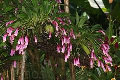 Masdevallia notosibirica (Pterodactylus69) Tags: orchidee orchid orquidea orchidaceae monocot botanic garden botanischer garten herrenhuser grten herrenhausen gardens berggarten flower flor fleur blte botanik botany botanica