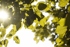 #leaves #fresh #green #limegreen #branches #sunshine #sunlight #bright #sun #summer #shadows #tree #plumtree #plum #sky (dario0806) Tags: sunlight sky green bright limegreen summer sunshine plumtree tree shadows sun branches leaves fresh plum