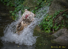 Have Fun ! (melvhsc100) Tags: singapore zoo nikon outdoor white tiger 70200mm splash
