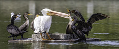 American White Pelican and Double-crested Cormorants (Glenn R Parker) Tags: americanwhitepelican cormorants doublecrestedcormorants pelican