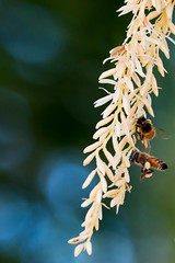 Hanging (donminer) Tags: bees flowers pollen bokeh golden light nature palm green
