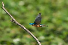 Decollo immediato (Fausto Mugnai) Tags: martin pescatore kingfisher uccelli natura