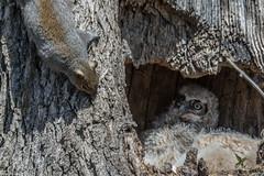 Meeting the neighbors for the first time (Fred Roe) Tags: lca71c6078 nikond7100 nikkorafs80400mmf4556ged nikonafsteleconvertertc14eii nature wildlife birds birding birdwatcher birdwatching owl squirrel greathornedowl bubovirginianus