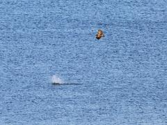 Sea eagle chases a Cormorant (Franz Airiman) Tags: eagle cormorant seaeagle mariella vikingline rn skarv havsrn skarvkoloni ryssmasterna