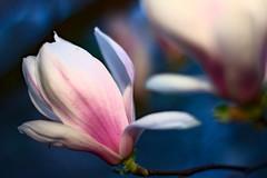 Magnolia  soulangeana. (h3xagon) Tags: park tree nature garden blossom natur tulip magnolia blte garten baum magnolie  soulangeana tulpenmagnolie
