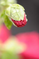 20150529-DS7_1632.jpg (d3_plus) Tags: plant flower macro nature rain japan cycling tokyo spring scenery waterdrop bokeh object daily rainy bloom    tamron  dailyphoto  kawasaki  thesedays tamron90mm pottering            tamronmacro  tamronspaf90mmf28  tamronspaf90mmf28macro11 d700 172e tamronspaf90mmf28macro nikond700 spaf90mmf28macro spaf90mmf28macro11 nikonfxshowcase 172en