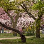 Cherry blossom in the Kyoto Gyoen National Garden, Kyoto thumbnail