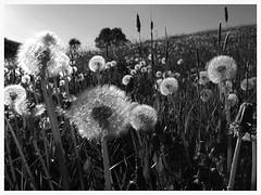 Taraxacum (czorneboh) Tags: bw white black landscape meadow wiese dandelion landschaft taraxacum lwenzahn pusteblume kuhblume