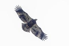 BALD EAGLE - JUVENILE (nsxbirder) Tags: indiana juvenile brookville whitewaterriver leveerdbrookville