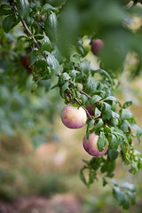 Love at first sight; I had never seen a plum tree before this. This tree gave us the most gorgeous and tastiest plums ever. #oregonvacation #traveldiary #plumtree #sweetestplums #lovenature #foodphotography (meerapdharshini) Tags: lovenature plumtree foodphotography traveldiary oregonvacation sweetestplums