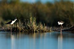 chasse blanche Himantopus himantopus - Black-winged Stilt (Julien Ruiz) Tags: blanche stilt blackwinged himantopus chasse