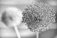 Past it's Prime (WilliamND4) Tags: flowers two blackandwhite bw plants flower monochrome nikon bokeh d750 hmbt