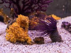 P7160246 (Rebecca_Wilton) Tags: istarskaupanija pula croatia hr europe 2016 istria olympus em1 omd summer aquariumpula anemone seaanemone cnidaria anthozoa hexacorallia
