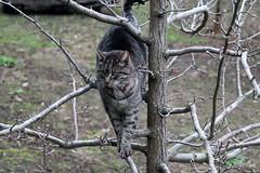 Dizzy (pnaudi) Tags: dizzy cat tabby stripes feline tree