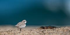 Western Snowy Plover (craig goettsch - off playing) Tags: ocean california bird beach nature sand nikon d750 endangered avian 14extender snowyplover montereypeninsula threatened 600mm salinasrivernwr