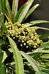 umbrella plant (UMBRELLA PALM) (DOLCEVITALUX) Tags: plant fauna flora philippines foliage medicinalplant umbrellasedge umbrellapalm mbrellaplant