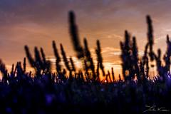 Valensole IV. (Tristan K.) Tags: valensole lavande lavandes lavender flower flowers summer purple fields provence france sun sunset dusk twilight champs violet été alpesdehauteprovence 04 crépuscule nightfall