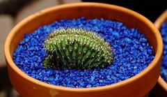 The Shark Fin (jpmatth) Tags: digital color canon eos 5d mk2 lenstagged ef135m28softfocus home garden plant cactus trichocereus thelegonus cristata 2016