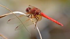Dragonfly (Jeffrey Neihart) Tags: fly dragonfly nikon d5100 nikon70300vr jeffreyneihart wildlife