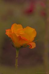 A rose is a rose is a rose ;) (www.amudhahariharan.com) Tags: flowers rose yellow munnar moonar amudhahariharan