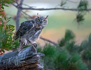 Great Horned Owl - IMG_6269-1