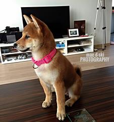 Shiba Inu #shibainu #Japanesedog #dog #puppy (mac d-ski photography) Tags: pink cute puppy table sitting shibainu
