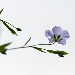 Delicate flower  ( Explored ) (gilliesavo. Catching up :)) Tags: macro delicate simplicity sunshine blue elegance