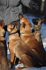 DSC_0091 (IN CANIS SPERAMUS) Tags: belgianshepherd malinois dog dogtraining puppy servicedog dogtrainer incanissperamus