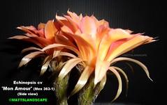 Echinopsis cv 'Mon Amour' MEX #363-1 (Bloom pic #2 side view) (mattslandscape) Tags: mon amour 3631 echinopsis trichocereus klaus klauspeter mugge mügge mex bloom bloomingcactus bloompictures flower floweringcactus flickrechinopsisbloomgroup flowers