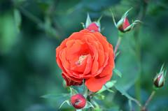 Red Rose (tonny.froyen) Tags: red redroses loveroses heart roses rose roselove roselover rosa rosegarden romance flower flowers molde plants blumen beauty beautifulroses rosesofinstagram rosestagram amour passion garden love