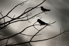 swallows (shoots canons) Tags: swallow swallows treeswallow bird birds aves avian ornithology biology zoology wildlife migratory feathered perch perched perching tree branch branches twig twigs spooky dark darkness nightfall evening twilight gloaming tachycinetabicolor tachycineta passerine passerines rest resting atrest animal wildanimal silhouette lowlight outline profile layers layered spindly moody depthoffield daysend