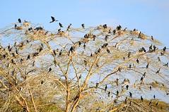 Cormorant City. (john a d willis) Tags: africa kenya lakenaivasha birds colony city cormorant